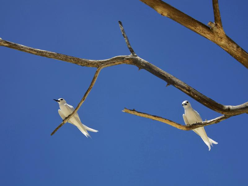 Fairy Terns.ii