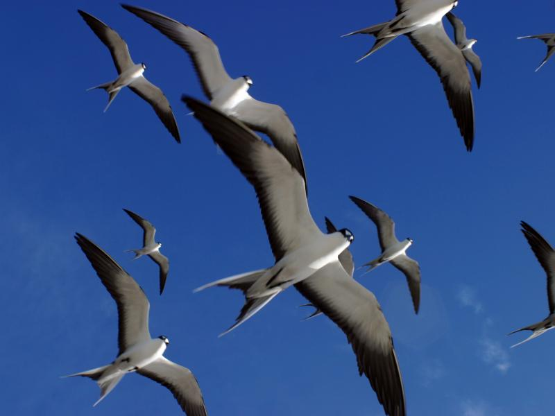 Sooty Terns in Flight.ii Bird Island